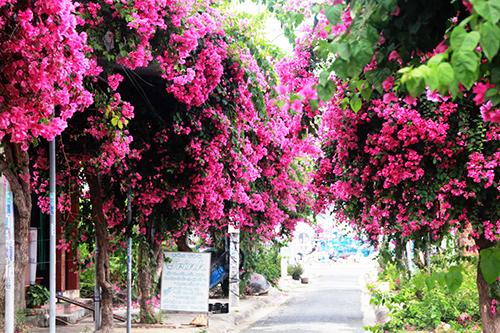 Mùa hạ, khắp Nha Trang rực rỡ màu hoa giấy. Giống hoa càng nắng lại càng rực rỡ màu sắc. Và đặc biệt, có một con đường quen, được mọi người chuyên chú hỏi thăm: Con đường Bạch Thái Bưởi hoa giấy nở chưa?