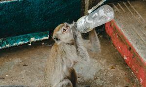 Những 'băng đảng' khỉ ở Kuala Lumpur