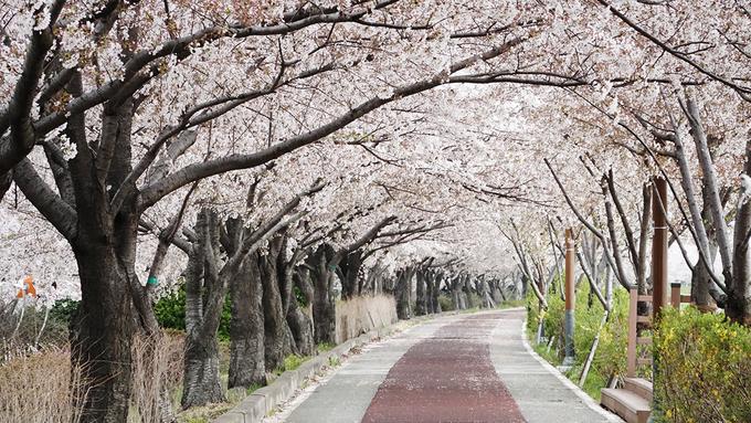 <p> Con đường này nằm bên sông Nakdong, thuộc thành phố Busan. Hoa anh đào trồng tại đây có chiều dài hơn 12 km, nên nơi này còn nổi tiếng là con đường hoa anh đào dài nhất xứ sở kim chi.</p>