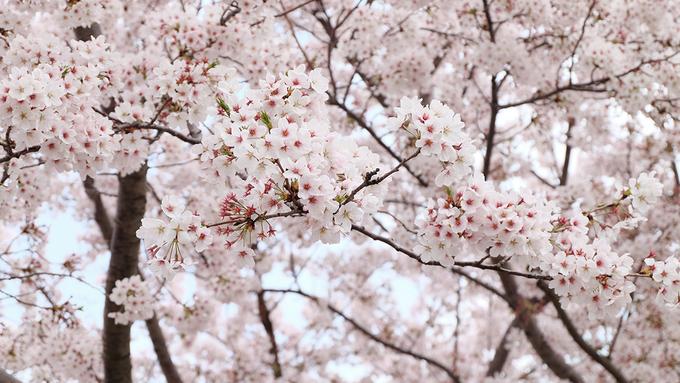 <p> Mùa xuân ở Hàn Quốc thường bắt đầu từ cuối tháng hai và kéo dài cho đến hết tháng tư. Thời gian hoa anh đào nở thường rất ngắn. Hoa nở rộ chừng 10 ngày và chỉ cần một vài cơn mưa hoặc gió lớn thì hoa sẽ rụng đồng loạt. Năm nay, đảo Jeju là nơi có hoa anh đào nở đầu tiên. Tại Busan, hoa chỉ nở bung cách đây vài ngày. Đến nay nhiều nơi hoa đã rụng gần hết.</p>