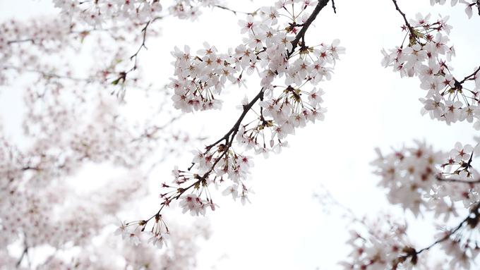 <p> Hoa anh đào không chỉ phổ biến mà còn là biểu tượng của mùa xuân xứ Hàn. Nếu vào mùa hè người dân ở đây sẽ đến suối chơi, mùa thu đi ngắm lá phong đỏ, trượt tuyết vào mùa đông thì mùa xuân là thời điểm để ngắm hoa anh đào.</p>
