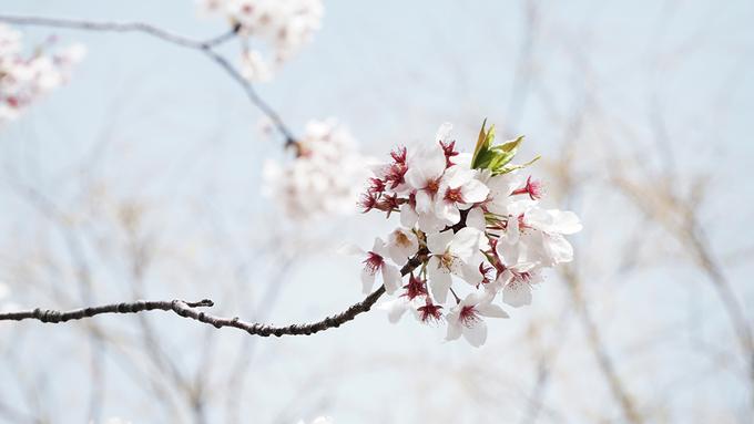 <p> Những cánh hoa anh đào ở khu vực này có kích thước không lớn, màu hồng nhạt. Hoa trở nên lung linh hơn dưới ánh nắng. Do được trồng san sát, hoa nở rộ với mật độ dày tạo thành mái che trên lối đi, vừa mát vừa đẹp mắt.</p>