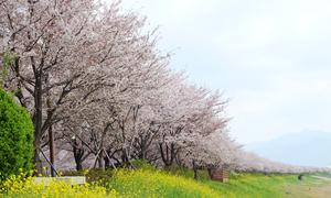 Con đường hoa anh đào dài nhất Hàn Quốc