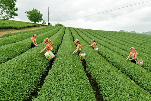 Những cô gái dân tộc hái chè trên đồi. Ảnh: Nguyễn Dương.