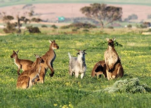 Con dê lạc giữa đàn kangaroo trên cánh đồng. Ảnh: The Advertiser.