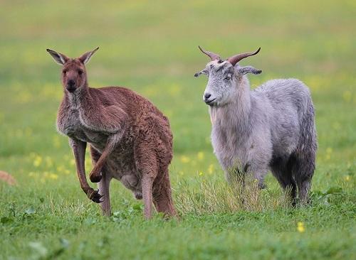 Dê Gary cùng người bạn kangaroo. Ảnh: Facebook.