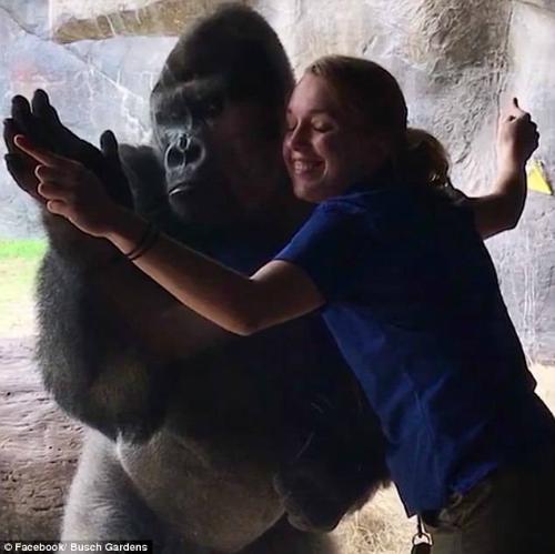 Bolingo dang tay như đang ôm Rachel. Ảnh: Busch Gardens.