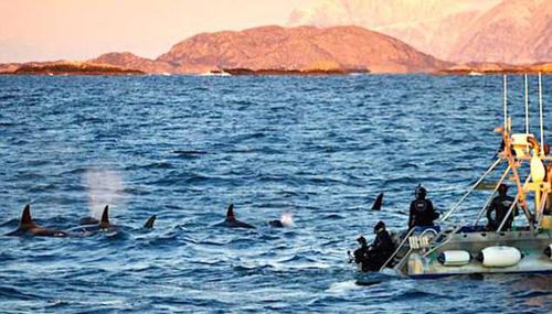 Lượng khách đặt tour trong năm ngoái tăng 700% chỉ để được bơi cùng cá voi sát thủ ở Na Uy, hay tham gia một cuộc đua trượt tuyết khắc nghiệt ở Thụy Sĩ. Ảnh: Youtube.