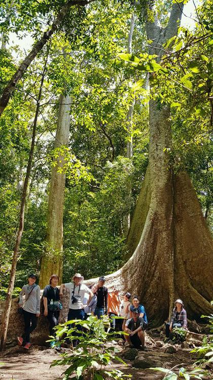 đại thụ cao vút trời xanh, bộ rễ to bản vươn dài, trồi lên hẳn mặt đất. Thậm chí ước tính có rễ bề ngang gần 1 m, bề dài hơn 5 m.
