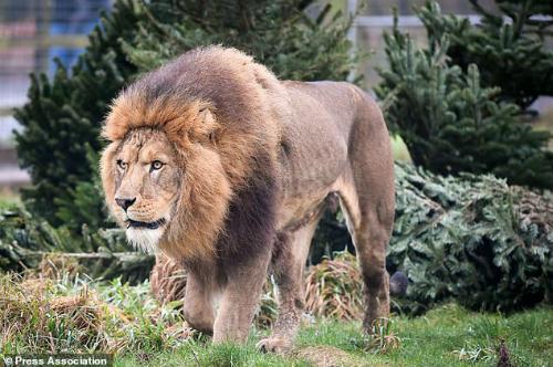 Con sư tử tấn công Mike tên là Shamba, với dòng quảng cáo trên website của khu bảo tồn có nội dung: Shamba sẽ nhảy lên rào và nhìn thẳng vào mắt bạn, nó cũng thích ngồi trên nóc xe tải khi chúng ta lái xe qua khu cắm trại. Ảnh:Ben Birchall.