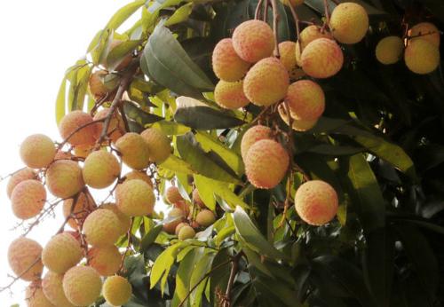 Vải thiều Thanh Hà nổi tiếng quảto,vỏ mỏng, đỏ đều, ngọt, vị thơm đọng lại sau ăn.