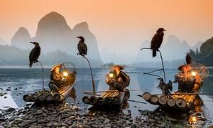 Nghệ thuật đánh cá bằng chim cốc trên dòng Lệ Giang