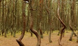 Những cây thông 'nhảy múa' trong rừng Nga