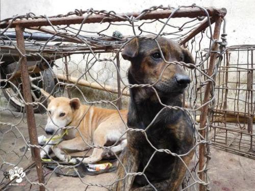 Hình ảnh những con chó bị nhốt chờ ngày vào lò giết mổ khiến nhiều người yêu động vật trên thế giới đau lòng. Ảnh: News.