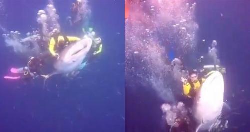 Những du khách cố tình chạm vào cá mập voi sẽ bị chính quyền Indonesia điều tra. Ảnh: Nextshark.