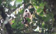 Du khách người Anh vô tình thấy kangaroo leo cây hiếm nhất thế giới