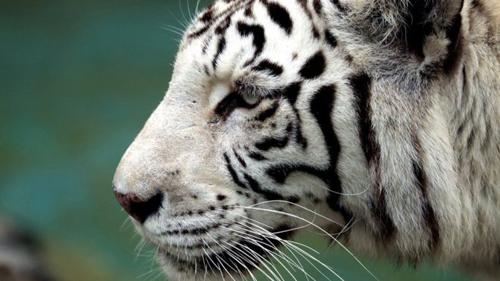 Hổ trắng hay Bạch hổ là hổ với một gen lặn tạo ra những màu sắc nhạt trên lông. Ảnh: BBC.