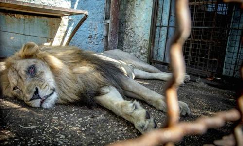 Hổ ở sở thú trong tình trạng suy dinh dưỡng. Ảnh: Foozine.