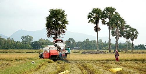 Thốt nốt như loài cây biểu tượng của tỉnh An Giang. Ảnh: Phong Vinh.