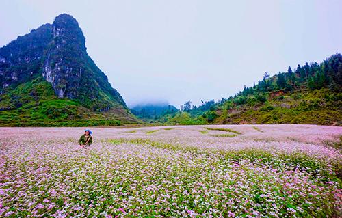 Những bông hoa tam giác mạch phủ hồng xã Phố Là, Hà Giang. Ảnh: Tùng Dương.