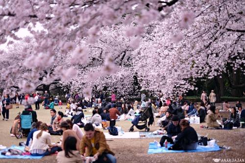 Công viên này là điểm ngắm hoa anh đào lý tưởng từ cuối tháng 3 tới cuối tháng 4 hàng năm. Ảnh: anakjajan17.