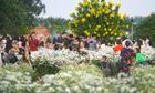 Cúc họa mi được mùa, khách nườm nượp tới vườn chụp ảnh tại Hà Nội