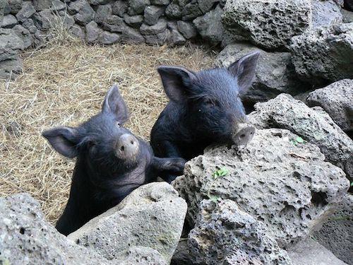Heo đen được nuôi ở đảo Jeju. Ảnh: Pinterest.