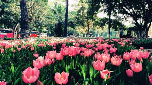Cảnh sắc rực rỡ của công viên nổi tiếng Keukenhof (Hà Lan) sẽ được tái hiện tại Lễ hội hoa Tulip 2019 ở Ecopark. Từ lâu, hoa Tulip trở thành biểu tượng của Hà Lan, tượng trưng cho sự giàu có sung túc, cho tình yêu và cuộc sống vĩnh cửu bởi tulip thường nở rộ vào mùa xuân  mùa của sự sống tràn trề nảy nở