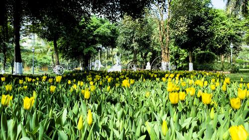 Tại Công viên mùa xuân Ecopark, những cây hoa tulip đang bung nở, sẵn sàng chào đón hàng ngàn lượt khách tham quan dịp năm mới 2019