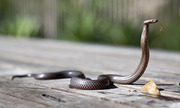 Du khách phát hiện rắn hổ mang dài 2 m trong áo khoác