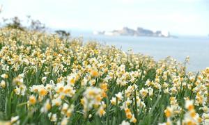 Cánh đồng hoa thủy tiên nở bạt ngàn ở thành phố của Nhật