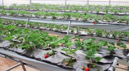 Khu du lịch này còn có điểm tham quan với vườn dâu New Zealand Công nghệ cao trĩu quả, vườn rau thủy canh với nhiều giống rau lạ.