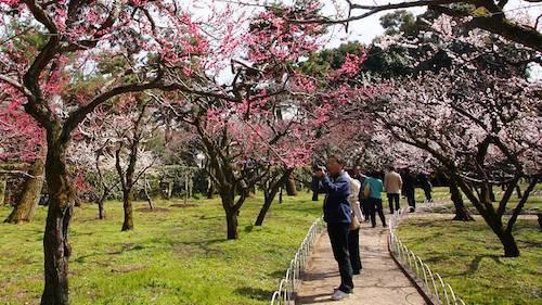 Hoa mơ đồng loạt nở rộ, đặc biệt là trong các thung lũng và công viên hoặc trong các đền chùa. Ảnh: Japan-guide.