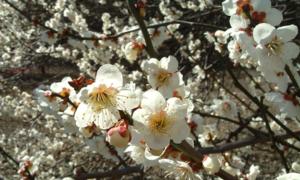 Mùa hoa mơ nở rộ ở Hàn Quốc, Nhật Bản