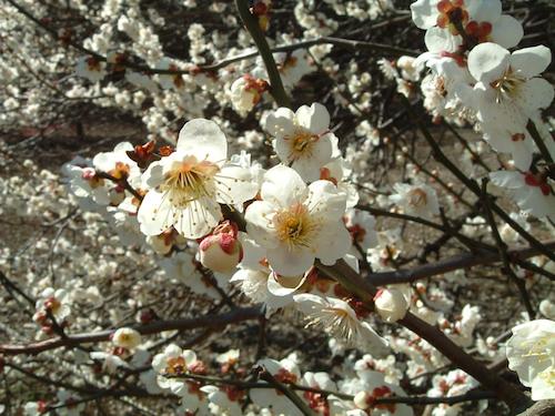 Hoa mơ nở từ giữa tháng 2 đến giữa tháng 3, báo hiệu cho mùa xuân đã về ở khắp nơi. Ảnh: Home-valley.