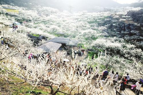 Hương thơm của hoa mơ Ume cũng khiến lòng người ngây ngất. Ảnh: Pinterest.