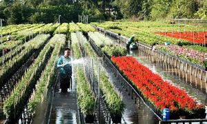 Làng hoa trăm năm ở Đồng Tháp khoe sắc đón khách dịp Tết