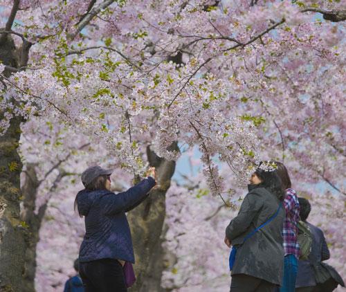 Nhật Bản là một trong những điểm đến yêu thích của người Việt trong mùa Tết Nguyên đán 2019 vì đang trong màu hoa anh đào nở. Ảnh: Nguyễn Thành Luân.