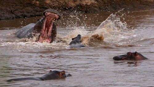 Hà mã là loài vật gây ra nhiều vụ tấn công chết người nhất ở châu Phi, so với bất kỳ loài động vật lớn nào khác. Ảnh:AAP.