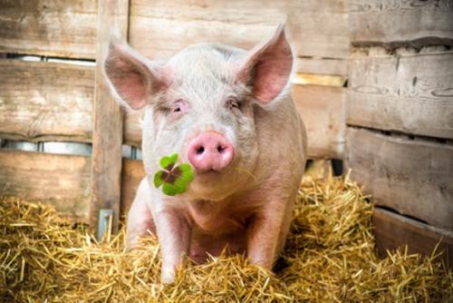 Con lợn tượng trưng cho sự mạnh mẽ, tiến về phía trước theo quan niệm của người dân ở một số nước châu Âu. Ảnh: Goodluck Symbols.