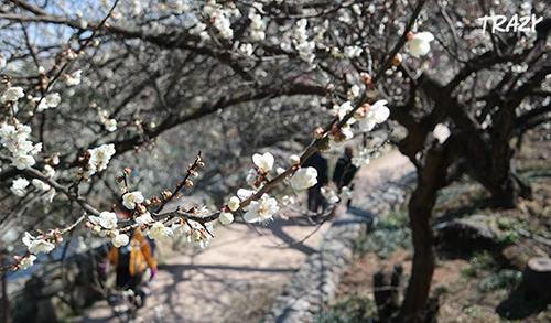 Hoa mơ nở trắng buốt trong lễ hội hoa mơ ở Gwangyang. Ảnh: Trazy.