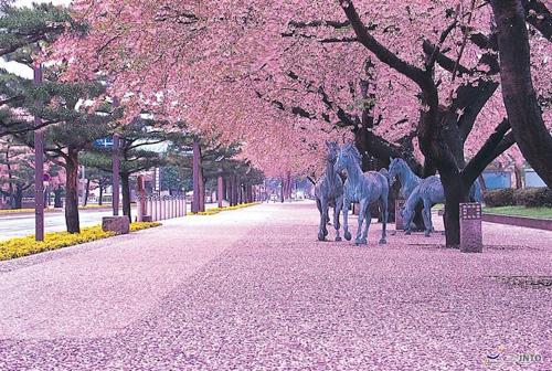 Vào tháng 3,4 hàng năm, dọc Nhật Bản là sắc hồng rực rỡ của hoa anh đào nở rộ. Ảnh: Matcha.