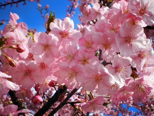 Hoa anh đào tượng trưng cho tinh thần bất tử của các samurai. Ảnh: Gaijinpot.