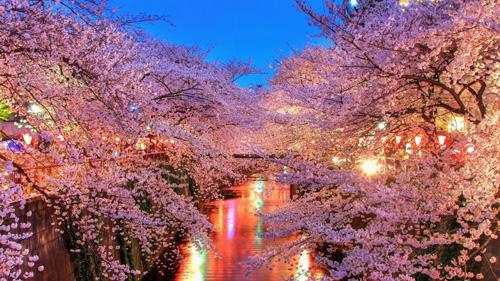 Vào mùa hoa anh đào nở, hàng triệu du khách quốc tế đổ xô tới Nhật để ngắm hoa. Ảnh: Hub Japan.