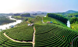 Đảo chè từ vùng hoang sơ thành nơi phải đến ở Nghệ An