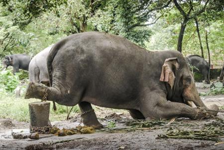 Phần lớn cuộc đời mình, những con voi bị xích phải đứng yên một chỗ. Ảnh: Nyooztrend.