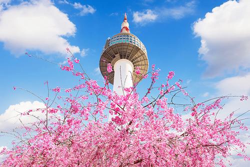 Những cây anh đào với sắc hồng rực rỡ tạo nên một khung cảnh nên thơ trên nền một kiến trúc cổ kính xa xưa.