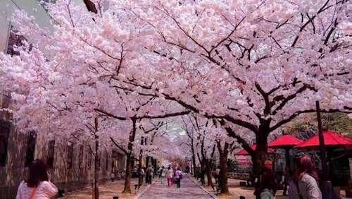 Vẻ đẹp của những cánh hoa anh đào hồng thắm trải khắp Nhật Bản. Ảnh: Tugo.