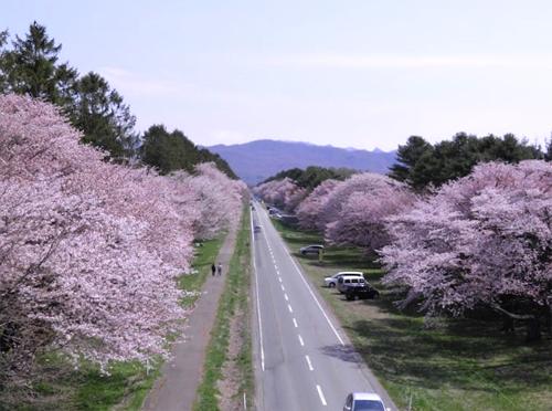 Hoa anh đào nở dọc con đường Shirunai Nikken Doro. Ảnh: Matcha.