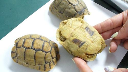 Các con vật bị tịch thu ngay lập tức và được chăm sóc bởi các bác sĩ thú y. Ảnh: Hauptzollamt Potsdam.